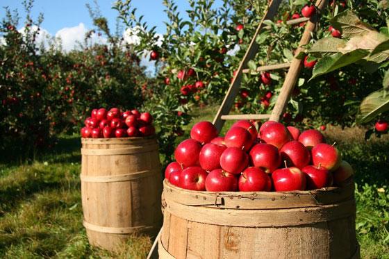 نوع جديد من التفاح يمكن تخزينه في الثلاجة لمدة عام كامل صورة رقم 10