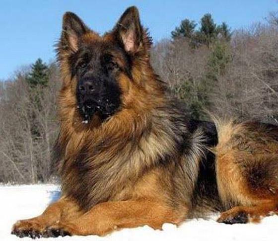 صور: تعرفوا إلى أخطر وأشرس 5 كلاب حول العالم صورة رقم 3