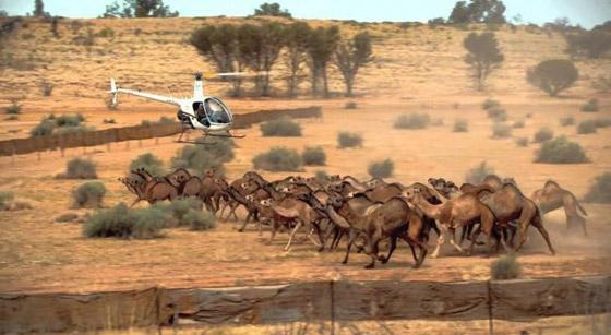 بالفيديو: عملية قتل الجمال في استراليا بإستخدام طائرات الهليكوبتر صورة رقم 2