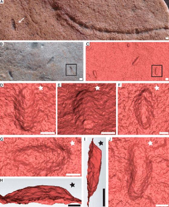 اكتشاف مخلوق صغير يشبه الدودة يعتقد العلماء أنه أقدم أسلاف البشر! صورة رقم 2