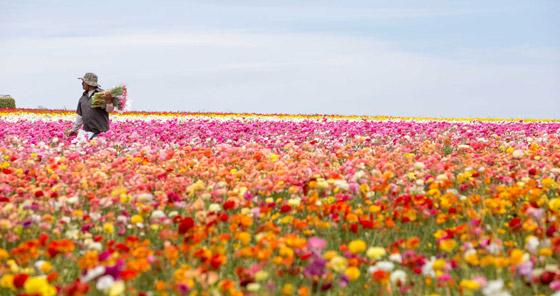صورة رقم 1 - حقول ملونة ورائعة.. تعرفوا إلى أفضل وأجمل حدائق الزهور في العالم