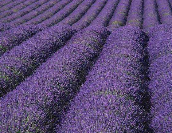صورة رقم 3 - حقول ملونة ورائعة.. تعرفوا إلى أفضل وأجمل حدائق الزهور في العالم