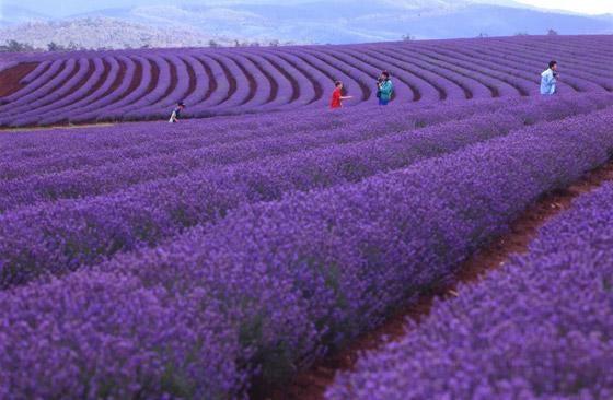 صورة رقم 11 - حقول ملونة ورائعة.. تعرفوا إلى أفضل وأجمل حدائق الزهور في العالم