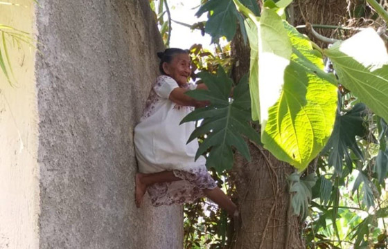 صورة رقم 2 - فيديو وصور عجوز مكسيكية (88 عاما) تتسلق الأشجار بلياقة مذهلة لتجني الفاكهة لتبيعها وتقطع الخشب