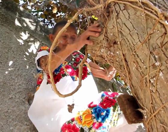 صورة رقم 8 - فيديو وصور عجوز مكسيكية (88 عاما) تتسلق الأشجار بلياقة مذهلة لتجني الفاكهة لتبيعها وتقطع الخشب