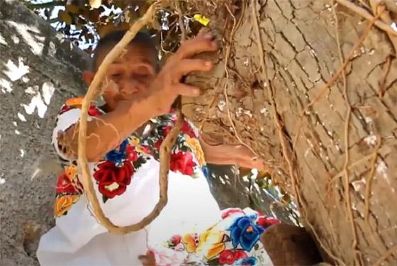 صورة رقم 10 - فيديو وصور عجوز مكسيكية (88 عاما) تتسلق الأشجار بلياقة مذهلة لتجني الفاكهة لتبيعها وتقطع الخشب