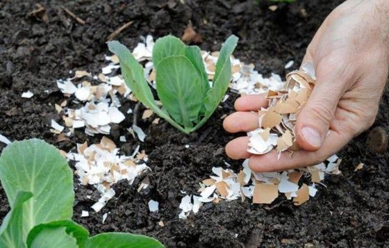 صورة رقم 4 - كيف تستخدم قشور البيض وبقايا القهوة في حديقتك؟