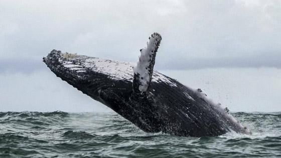 صورة رقم 3 - ابتلعه الحوت الأحدب.. غواص يروي تفاصيل التجربة