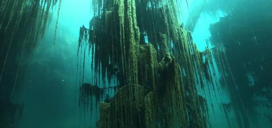 صورة رقم 13 - غابة السرو القديمة.. غابات غريبة قديمة تحت الماء