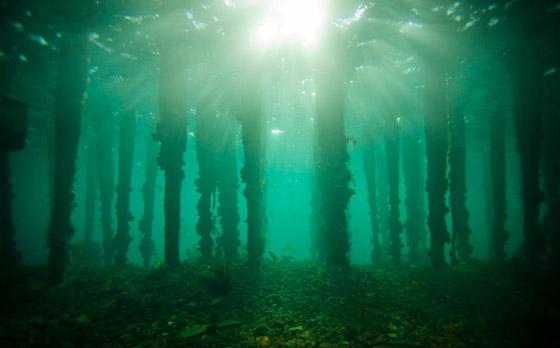 صورة رقم 12 - غابة السرو القديمة.. غابات غريبة قديمة تحت الماء