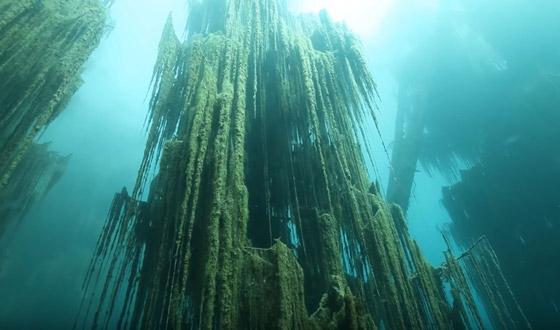 صورة رقم 1 - غابة السرو القديمة.. غابات غريبة قديمة تحت الماء