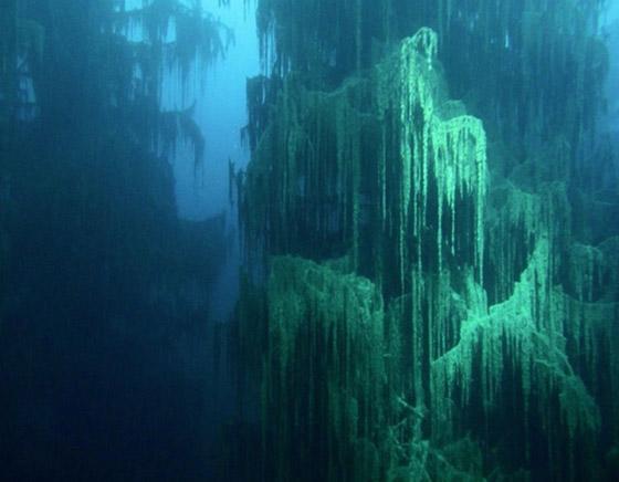 صورة رقم 6 - غابة السرو القديمة.. غابات غريبة قديمة تحت الماء