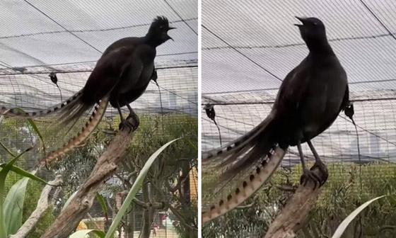 صورة رقم 1 - فيديو: طائر القيثارة يقلد بكاء طفل ويصدر صوتا عاليا يصم الآذان!