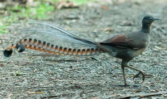 صورة رقم 3 - فيديو: طائر القيثارة يقلد بكاء طفل ويصدر صوتا عاليا يصم الآذان!
