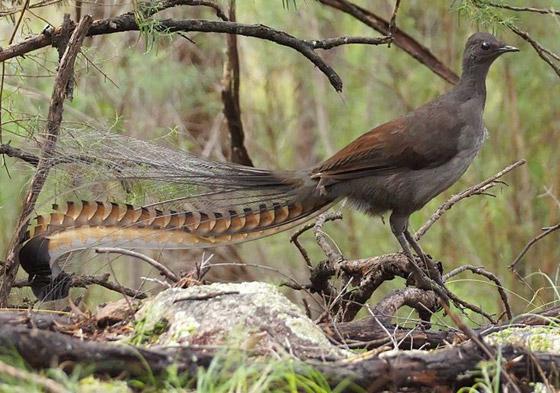 صورة رقم 5 - فيديو: طائر القيثارة يقلد بكاء طفل ويصدر صوتا عاليا يصم الآذان!