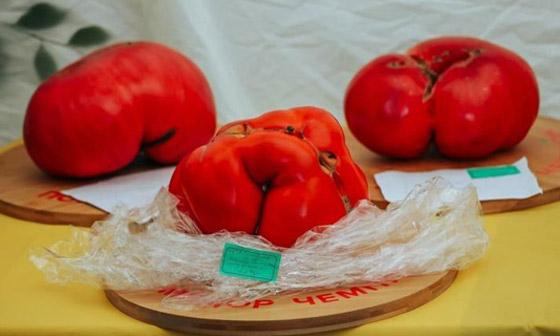 صورة رقم 3 - روسيا تسجل أكبر حبة طماطم بوزن 2.2 كيلو غرام.. صور