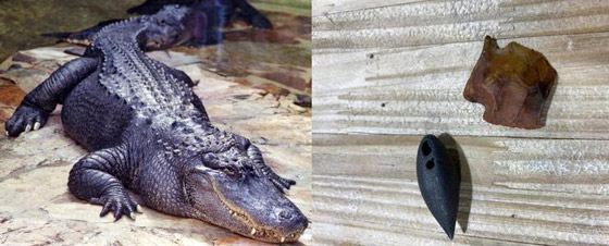 صورة رقم 1 - صور: صياد أمريكي يعثر على معدات عمرها آلاف السنين في بطن تمساح
