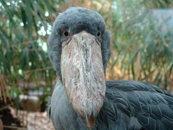 صورة رقم 11 - أبو قرن ذو الخوذة.. وأغرب الطيور في العالم