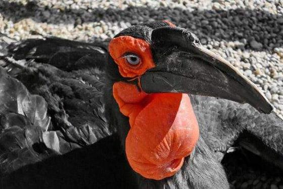 صورة رقم 2 - أبو قرن ذو الخوذة.. وأغرب الطيور في العالم