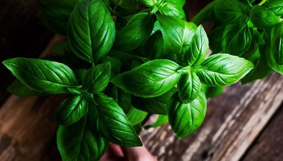 صورة رقم 2 - أعشاب الريحان: نبات شهير له تأثير سحري للحماية من الزهايمر والخرف