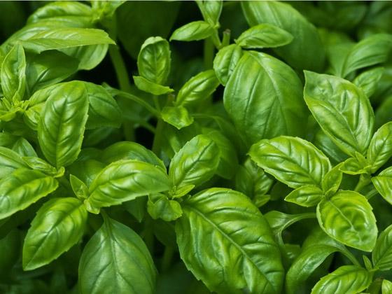 صورة رقم 3 - أعشاب الريحان: نبات شهير له تأثير سحري للحماية من الزهايمر والخرف