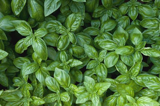 صورة رقم 6 - أعشاب الريحان: نبات شهير له تأثير سحري للحماية من الزهايمر والخرف