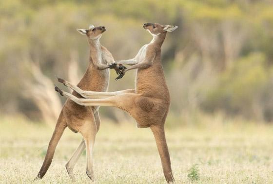 صورة رقم 9 - مسابقة كوميديا الحياة البرية 2021: لن تتوقف عن الضحك بعد مشاهدة الصور