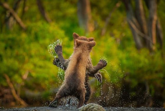صورة رقم 12 - مسابقة كوميديا الحياة البرية 2021: لن تتوقف عن الضحك بعد مشاهدة الصور