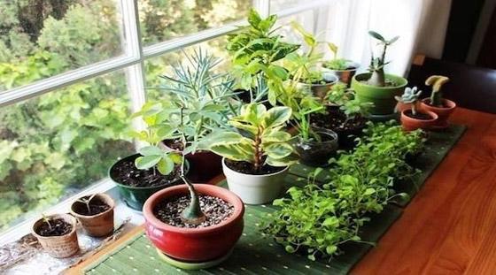 صورة رقم 1 - نباتات زينة منزلية ذات خصائص علاجية لصحة الإنسان