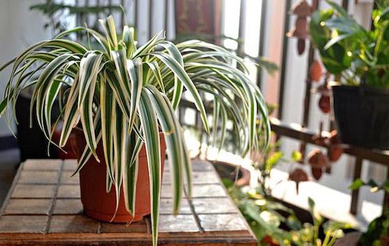 صورة رقم 2 - نباتات زينة منزلية ذات خصائص علاجية لصحة الإنسان