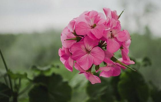 صورة رقم 3 - نباتات زينة منزلية ذات خصائص علاجية لصحة الإنسان