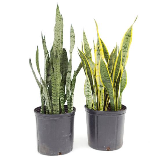 صورة رقم 4 - نباتات زينة منزلية ذات خصائص علاجية لصحة الإنسان