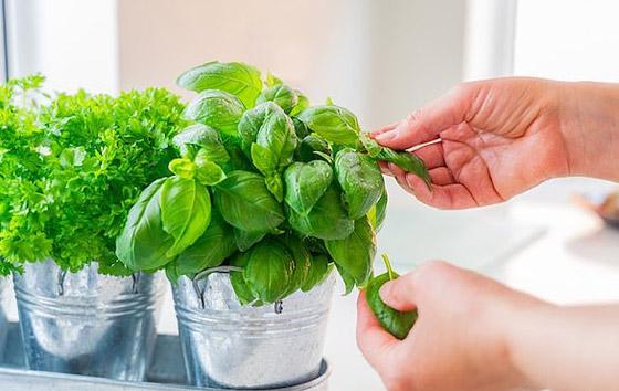 صورة رقم 7 - نباتات زينة منزلية ذات خصائص علاجية لصحة الإنسان