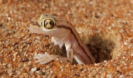صورة رقم 5 - بالصور: سحلية ملونة وشفافة بصحراء أبوظبي تكشف عما يوجد بداخلها