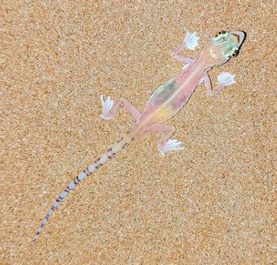 صورة رقم 4 - بالصور: سحلية ملونة وشفافة بصحراء أبوظبي تكشف عما يوجد بداخلها