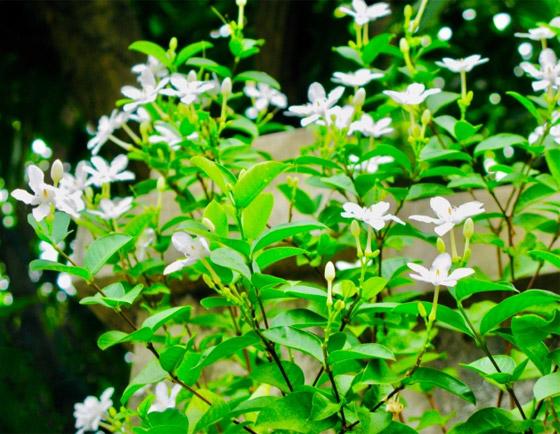 صورة رقم 2 - إليكم أفضل 5 نباتات منزلية عطرية مزهرة ستملأ رائحتها البيت كله
