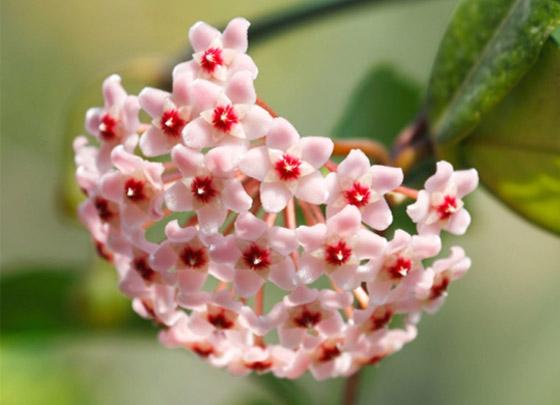 صورة رقم 5 - إليكم أفضل 5 نباتات منزلية عطرية مزهرة ستملأ رائحتها البيت كله
