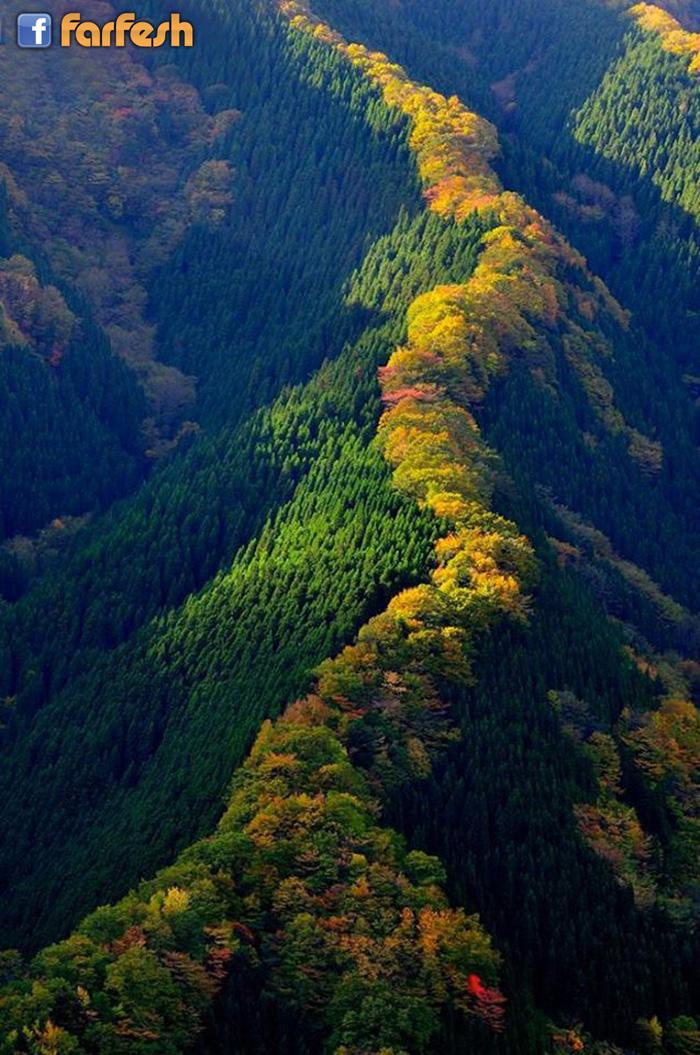 سلسله من اشجار القيقب في اليابان