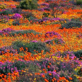 لمدة قصيرة فقط.. صحراء في إفريقيا بسجاد من الزهور الخلابة!