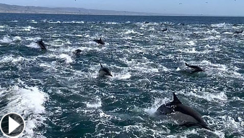 فيديو لمشهد جميل ونادر.. 1000 دلفين تتدافع بجوار قارب سياحي!