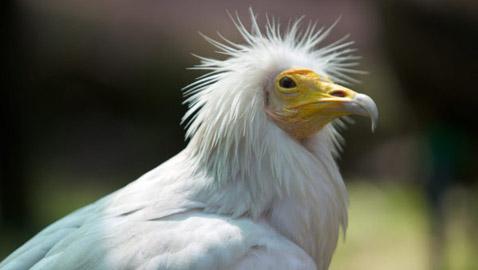 النسر المصري: ما قصة الطائر النادر الذي ظهر في بريطانيا بعد 150 عاماً؟