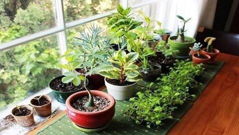 نباتات زينة منزلية ذات خصائص علاجية لصحة الإنسان