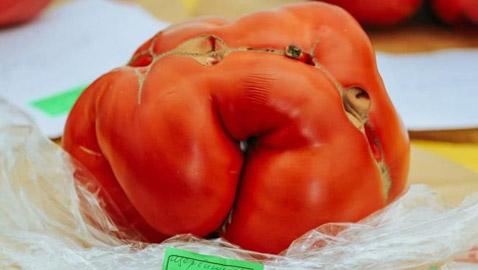 روسيا تسجل أكبر حبة طماطم بوزن 2.2 كيلو غرام.. صور
